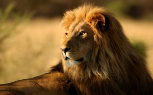 Lion-India-Dengerious-Pics
